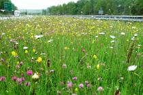 red clover, ox eye daisies and buttercups along the M4 motorway